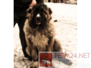 Подросток, Кавказская овчарка, 7 месяцев, окрас